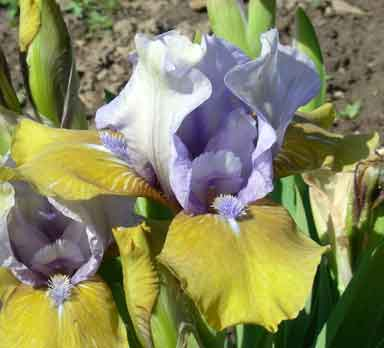 Blue Hat boy SDB iris