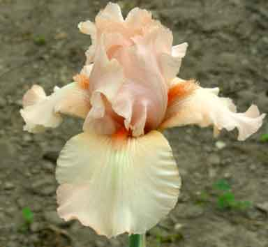 Cameo Blush BB Iris
