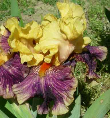 fruit Stripes BB Iris