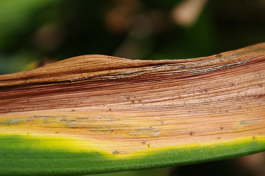 "Daylily fungus infection ""Midwest Malaise"""