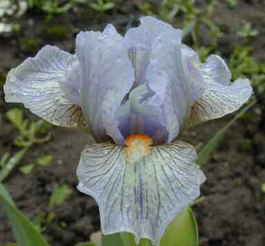 surrounded SDB Iris